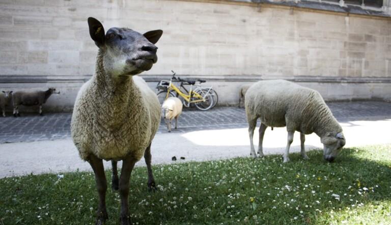 On a suivi la transhumance des moutons dans le Grand Paris