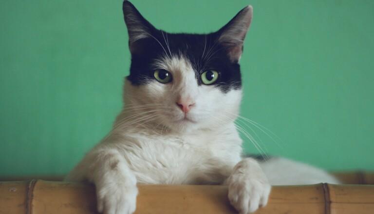 Les chats reconnaissent leur nom… mais ils s'en fichent