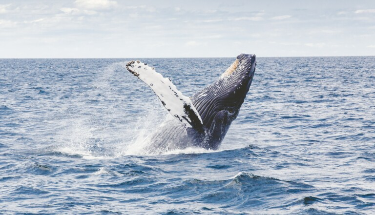 Mais pourquoi la baleine bleue a-t-elle changé de voix ?