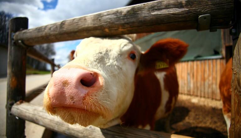 Viande bio et viande conventionnelle ont le même impact sur le climat, selon cette étude