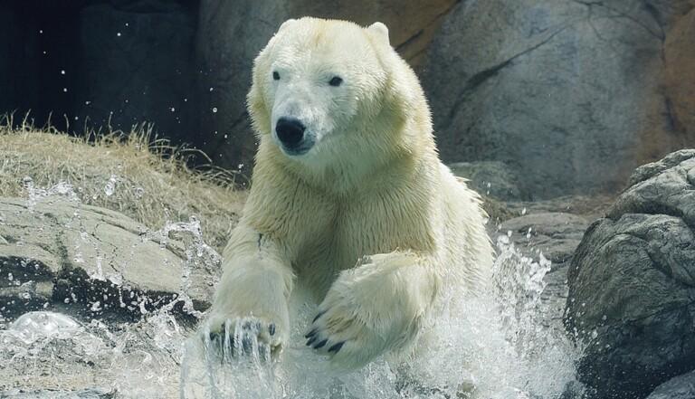 De quelle couleur est la peau des ours blancs ?