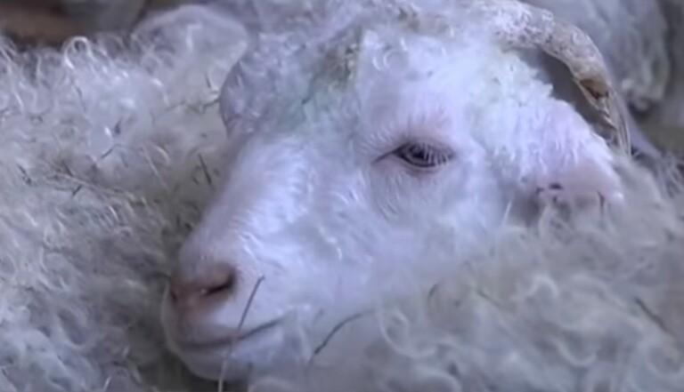 Asos abandonne le mohair à cause de la maltraitance animale (et bientôt le duvet, la soie et le cachemire)