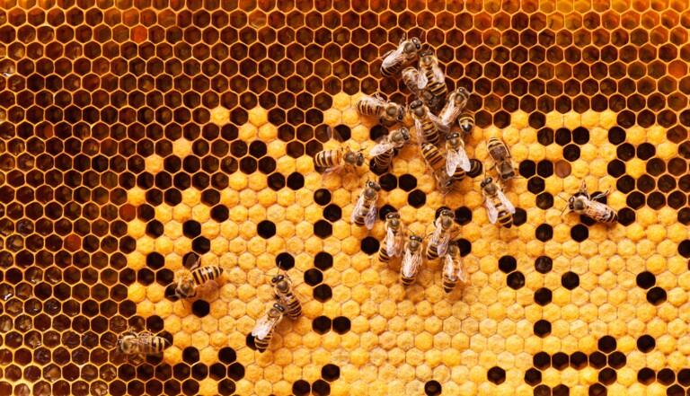 Cancer du sein : le venin d'abeilles tue les cellules cancéreuses, selon une étude australienne