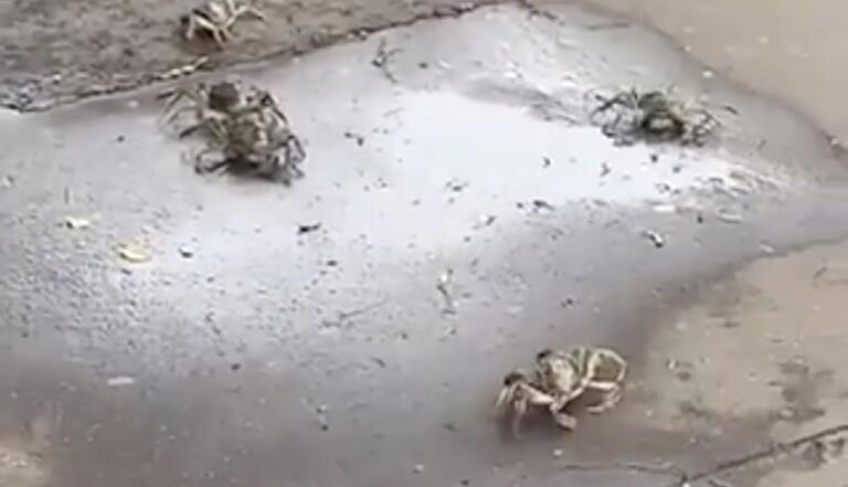Des dizaines de crabes se promènent sur un trottoir parisien