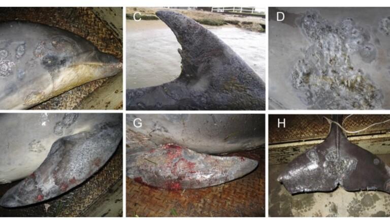 Voilà ce que le changement climatique fait aux dauphins