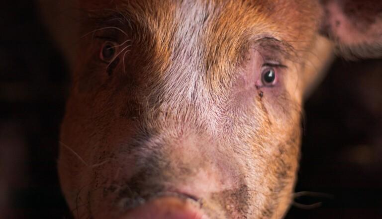 """""""Beaucoup ressentent la souffrance des animaux qu'ils défendent"""" - Qui sont les anti-spécistes ? 3 journalistes ont enquêté"""