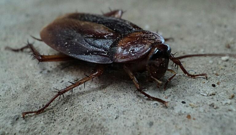Il n'y a pas que les mantes religieuses : les cafards aussi sont des cannibales sexuels