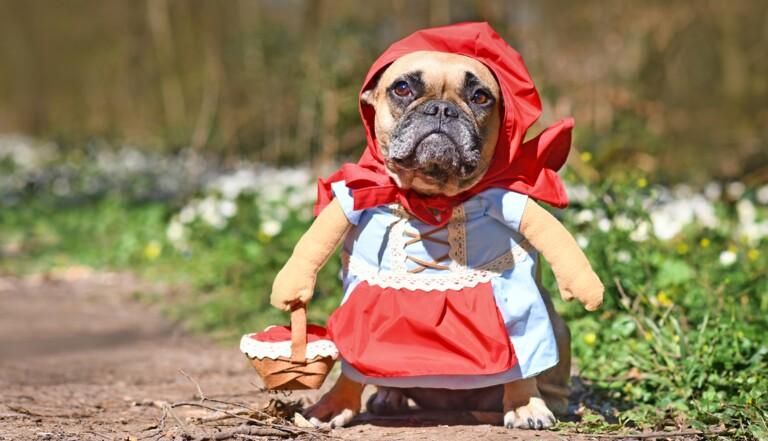 Qui mange la grand-mère dans la première version du Petit Chaperon rouge ? (la cruelle réponse est dans le titre du conte...)