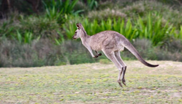 10 preuves que les kangourous sont des créatures diaboliques