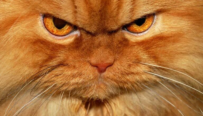 Garfi, le chat très en colère