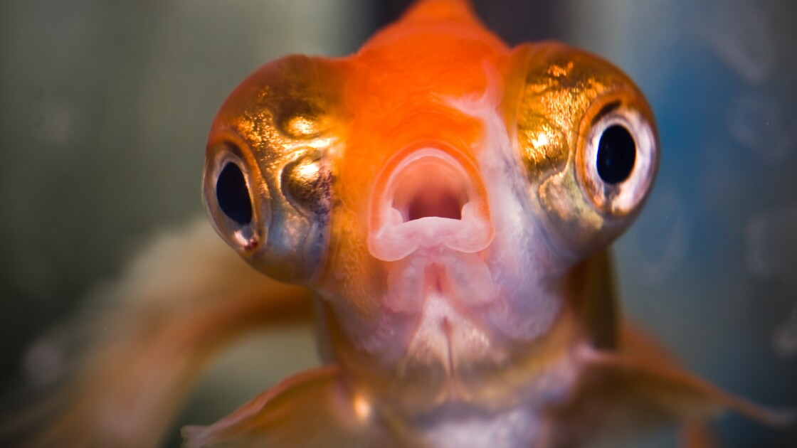L'homme ultra-connecté est moins concentré qu'un poisson rouge