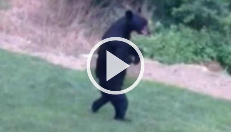 [VIDEO] Voici Pedals, l'ours bipède qui marche tranquillou dans les rues du New Jersey