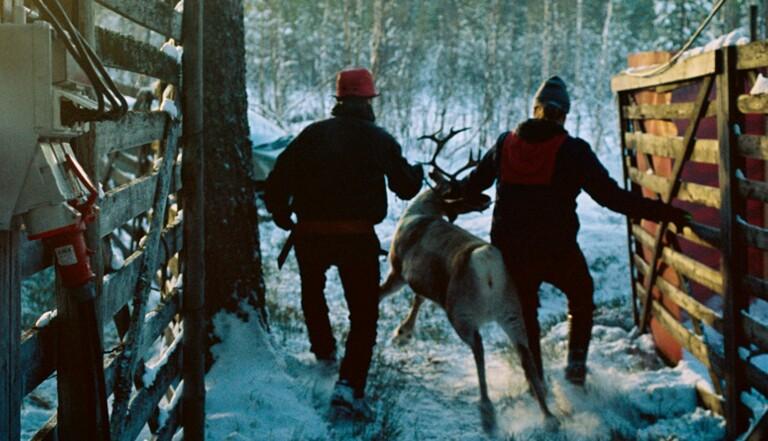 J'ai testé la vie d'éleveuse de rennes en Suède