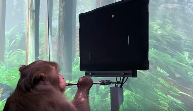 Equipé d'une puce par Elon Musk, ce singe joue à un jeu-vidéo via la pensée