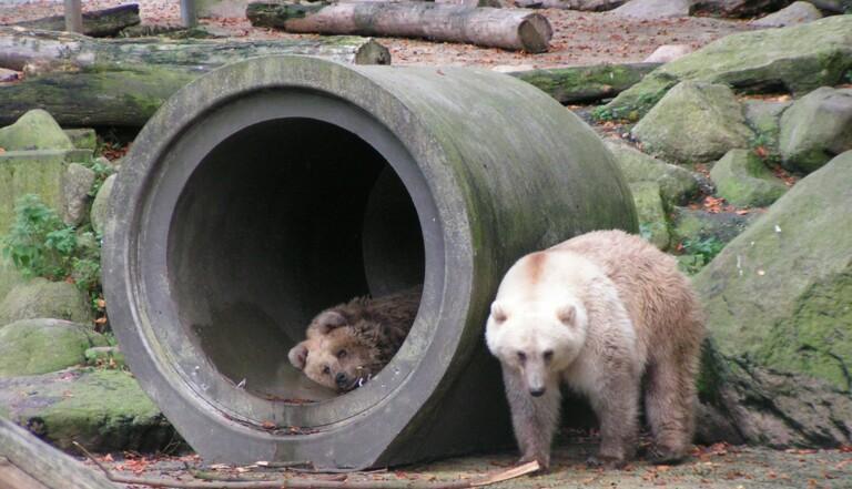 """La naissance du """"pizzly"""", mi-grizzly, mi-ours polaire, est une très mauvaise nouvelle pour la planète"""