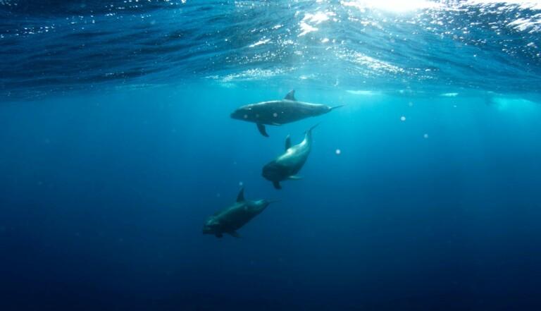 """Les dauphins retiennent """"les noms"""" de leurs congénères afin de mieux former des alliances"""