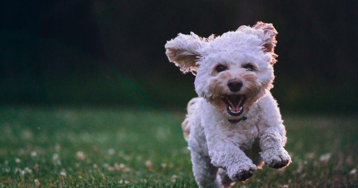 Classement des races de chiens les plus agressives : votre toutou fait-il partie de la liste ?