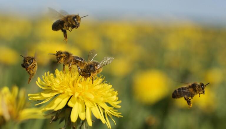 Des abeilles formées à détecter les échantillons positifs au Covid-19 par des chercheurs néerlandais