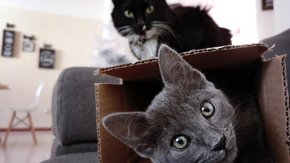 Des chercheurs démontrent que les chats aiment autant les boîtes que les carrés illusoires
