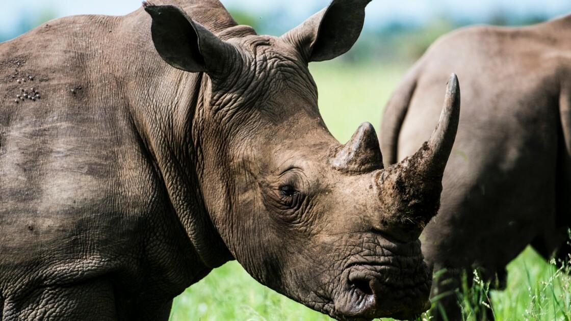 Contre le braconnage des rhinocéros, des cornes bientôt radioactives ?
